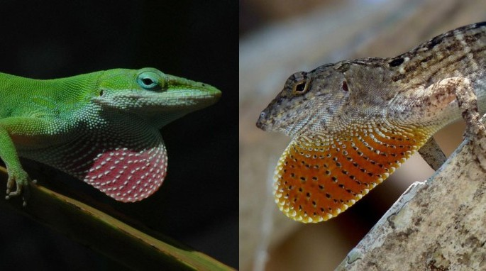 Green Anole and Brown Anole (Todd Cam)