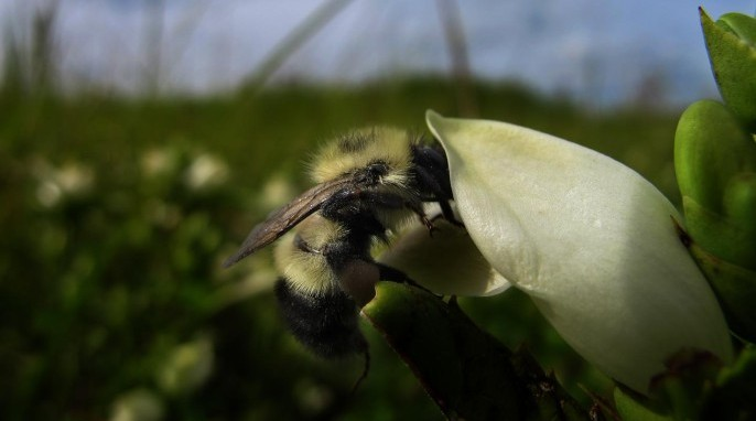 Medicine for sick bees: A bumble bee collects nectar containing iridoid glycoside secondary metabolites from a turtlehead flower. (Leif Richardson)