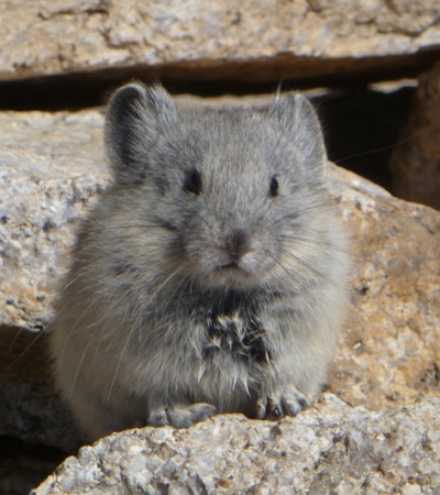California Pika: With high metabolic rates and thick fur, pikas are well adapted to the cold temperatures at high elevations, but these same adaptations make them vulnerable to global warming. (Photo by Cody Massing)