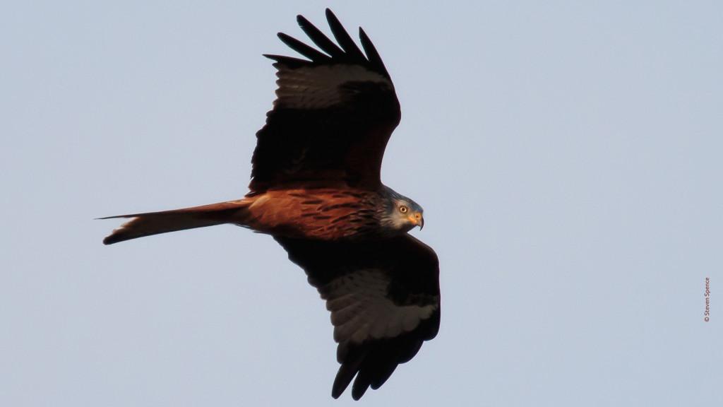 Red Kite (Steven Spence)