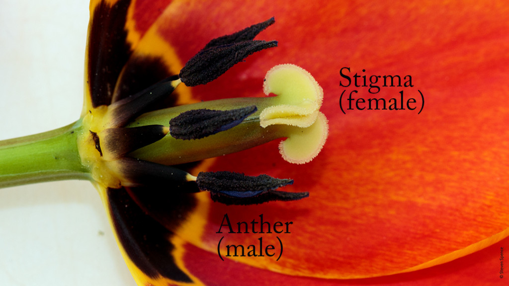 Pollination: Male and Female parts of a typical Angiosperm (tulip)