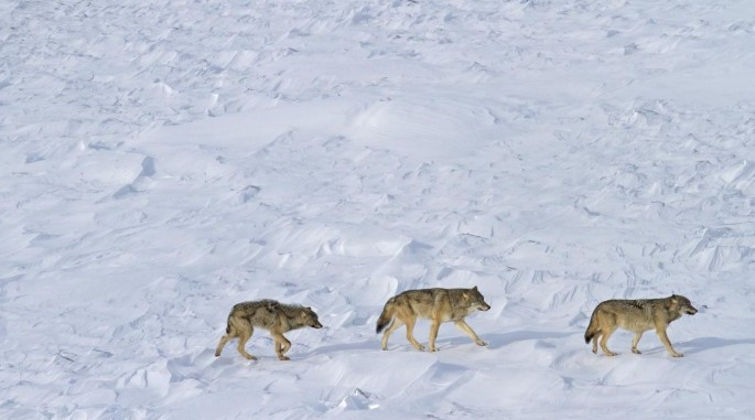 Isle Royale Wolves: Only three wolves appear to remain at Isle Royale National Park. (Rolf Peterson)