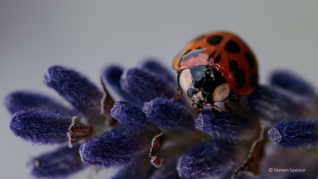 Ladybirds on Lavender
