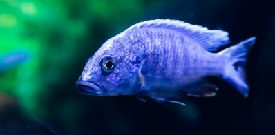 Electric Blue Cichlid (Courtesy of Criminalatt)