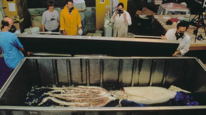 Giant Squid (Photo ©AMNH/P.Rollins)