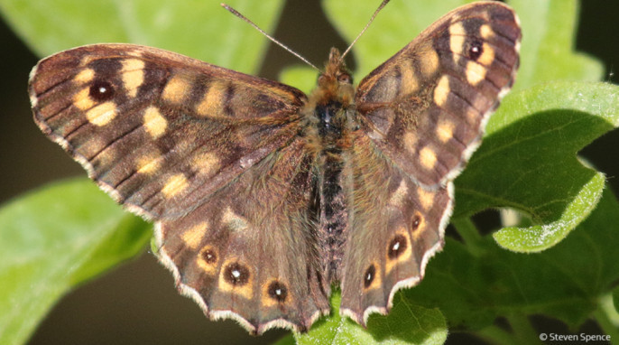 Butterflies: A forest-loving butterfly. Tentative identification: Speckled wood; German Waldbrettspiel; Latin Pararge aegeria