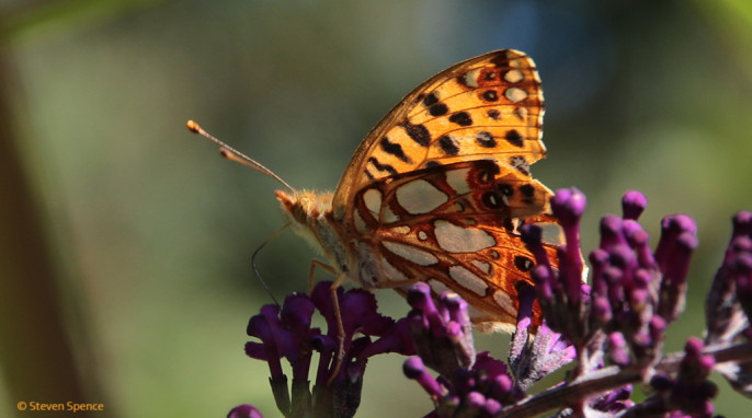 Butterflies: Enjoying flowers in a local park. Tentative identification: Queen of Spain fritillary; German Kleiner Perlmutterfalter; Latin Argynnis lathonia