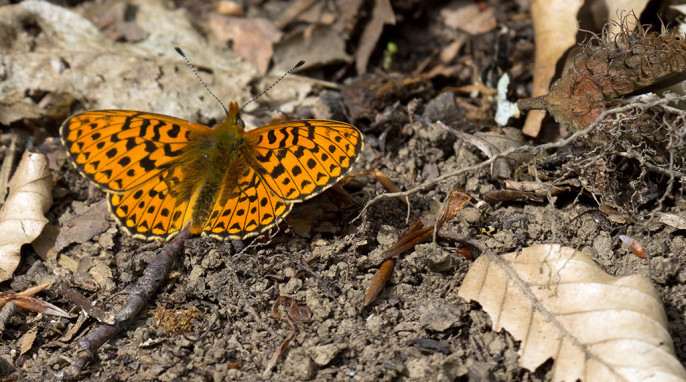 Butterflies: Butterfly at the edge of the forest floor. tentative identification: Lesser Marbled Fritillary; German Violetter Silberfalter; Latin Brenthis ino