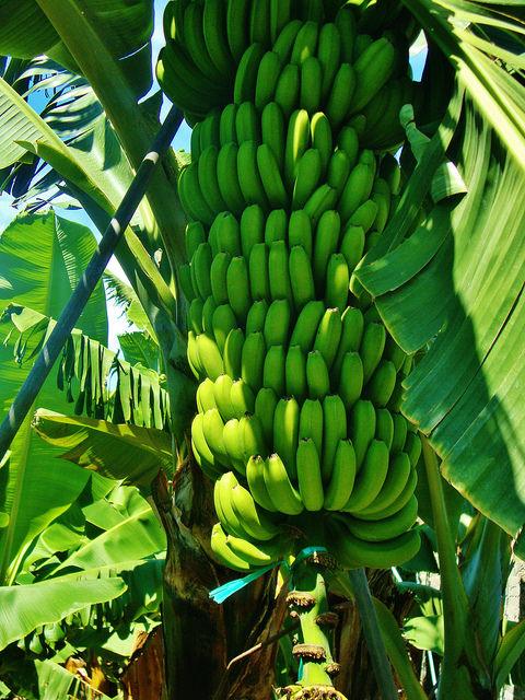 Banana plantation, La Palma. Photo courtesy of Alex Donohue via Flickr.