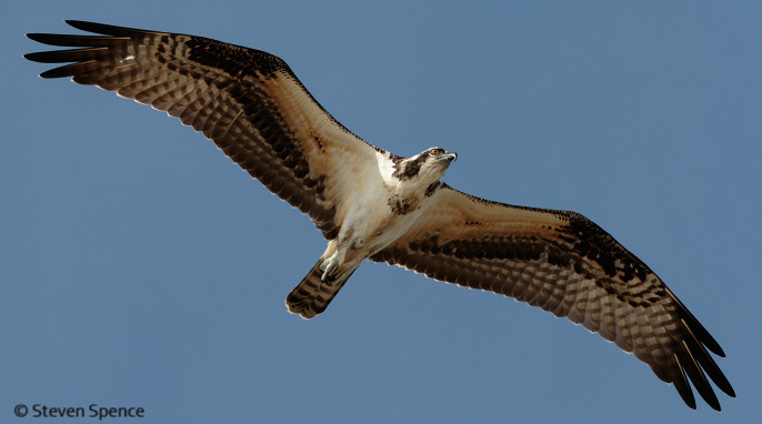 Osprey Bird Of Many Names Science Connected Magazine