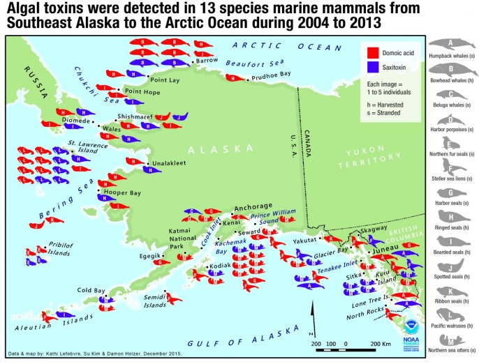 The locations of Alaska marine mammals that showed exposure to toxins from harmful algae. Letters on animal figures correspond to species list at right. Image credit: NOAA Fisheries/Northwest Fisheries Science Center