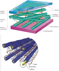 Structure of Plant Cell Walls Upper: Primary cell wall consists of cellulose microfibrils cross-linked to hemicelluloses and pectins (Sticklen 2008). Lower: Cellulose microfibrils surrounded by hemicelluloses and lignin (Doherty et al. 2011).