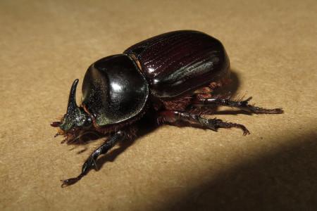 Rhinoceros beetle, photo by Carla Kishinami