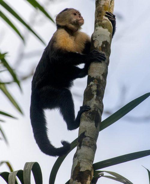 North American Monkeys