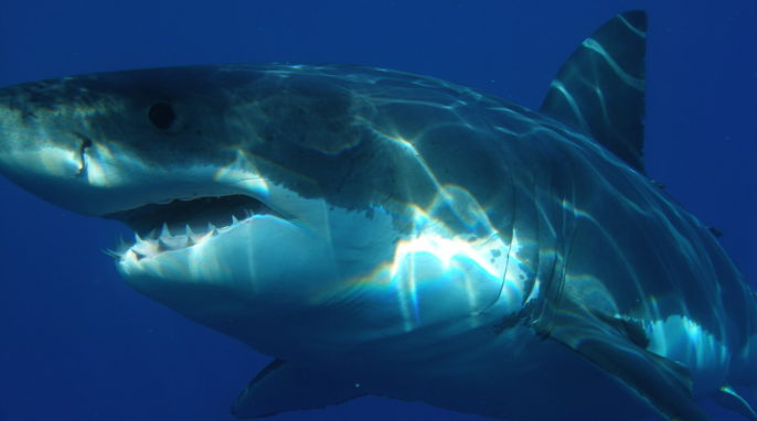 How Do Big Sharks Beat Cancer?