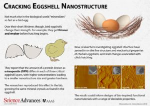 Why Are Eggshells So Strong?