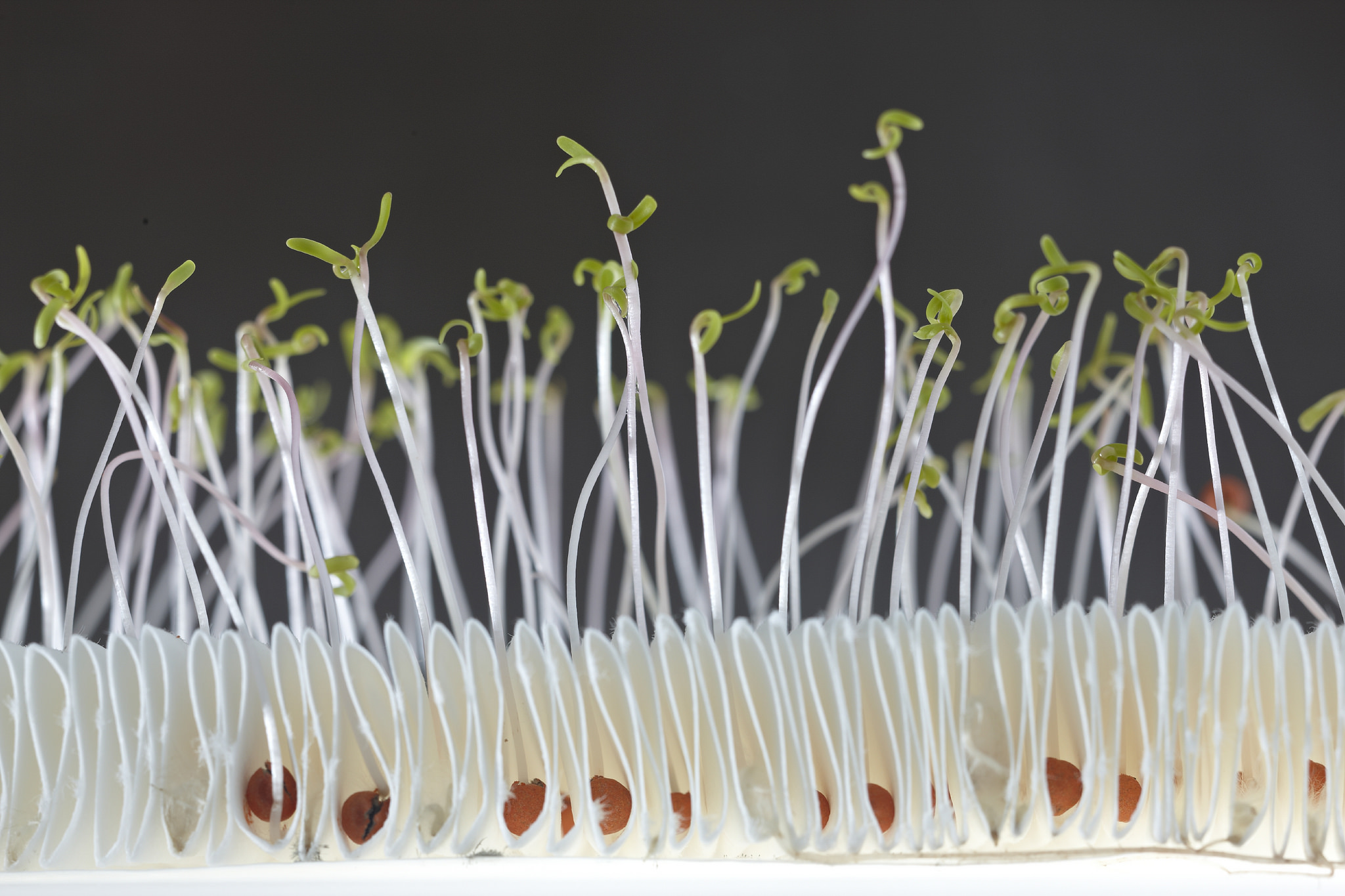 To Grow or Not to Grow? Bacteria Make Seeds Think! - Science