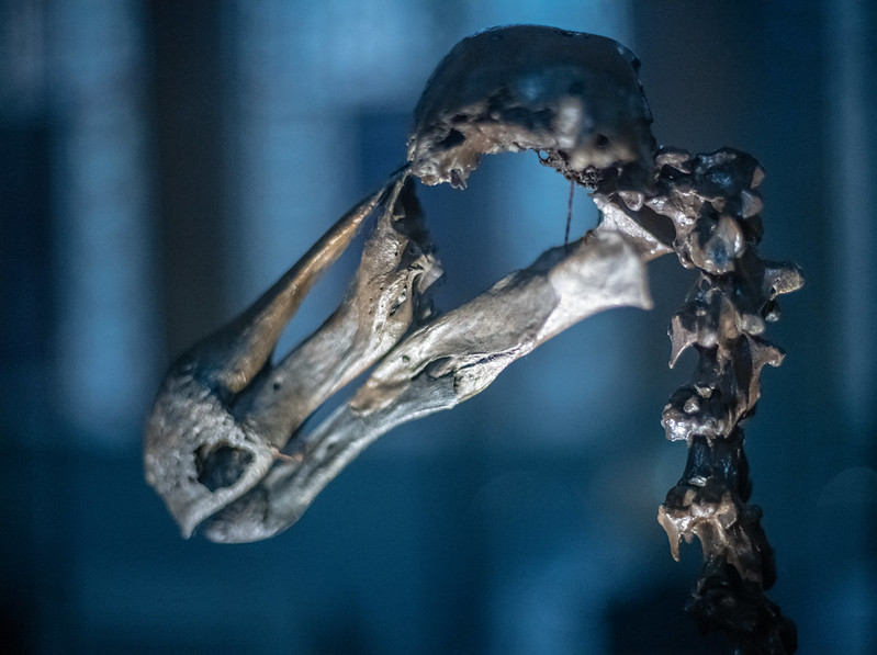 Mass extinction: Dodo