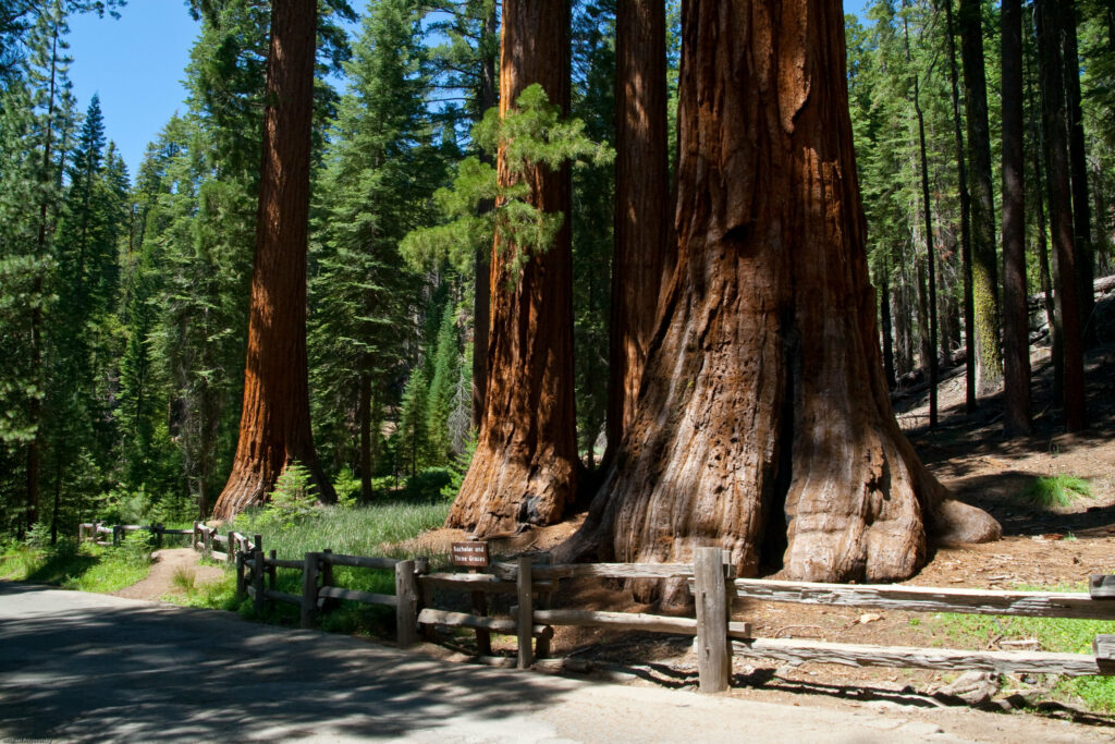 Giant Sequoia Trees in Yosemite National Park. Photo by Michael Privorotsky.
