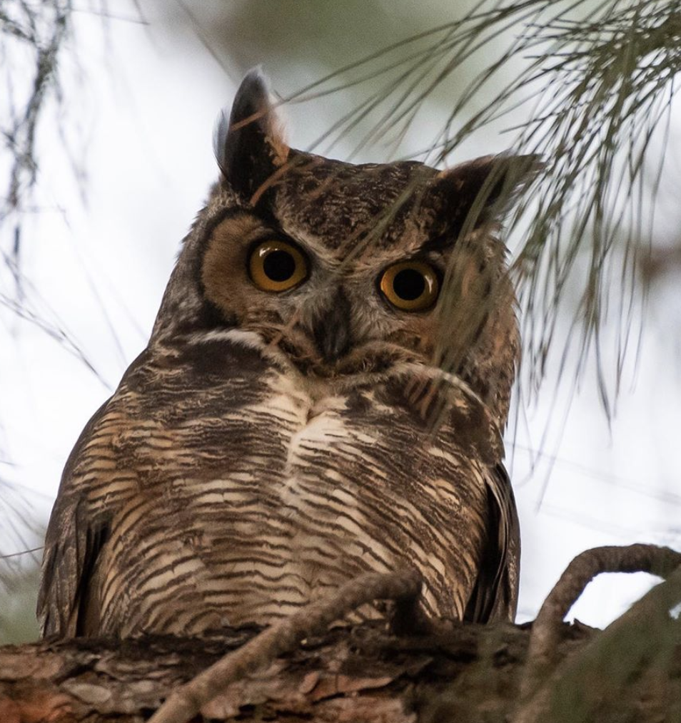 An observation of a Great Horned Owl from the NHM's iNaturalist account. Credit: NHMLA Community Science Program, some rights reserved (CC-BY-NC)