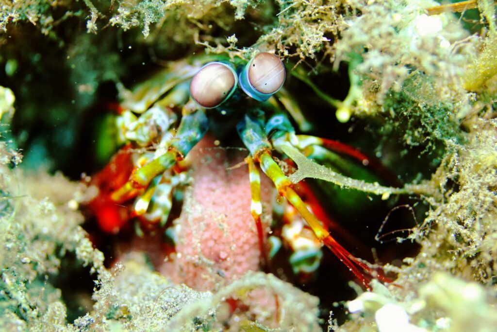A peacock mantis shrimp guards its eggs.  CREDIT Lindsey Dougherty