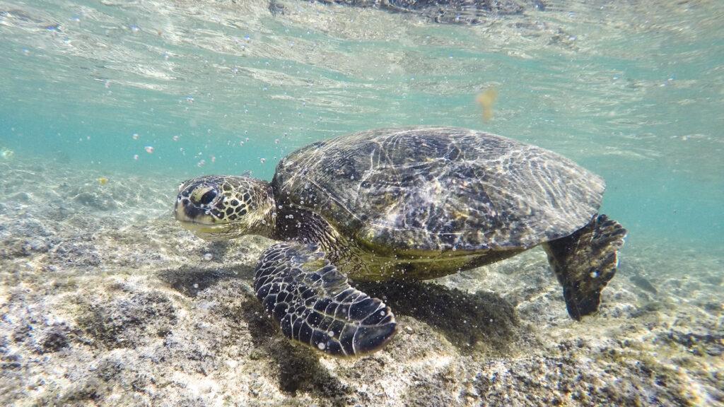Sea turtles at Tunnels Beach. Photo by Jim Bahn